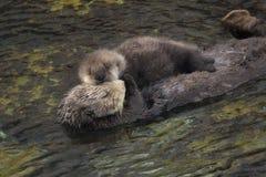 海獭母亲和小狗 免版税库存图片
