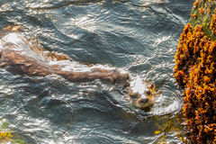 海獭联接 库存图片