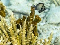 海珊瑚和海巴勃 免版税库存照片
