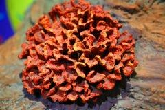 海珊瑚 免版税库存照片