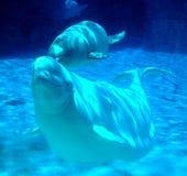 海生动物白海豚 免版税库存照片