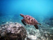 海生动物绿海龟飞行 免版税图库摄影