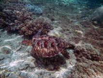 海生动物绿海龟飞行 免版税库存图片