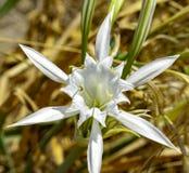 海百合,有白花的草本植物, 库存图片