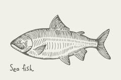 海的三文鱼鱼 背景查出的白色 例证 免版税库存图片