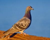 海的鸽子 免版税库存图片