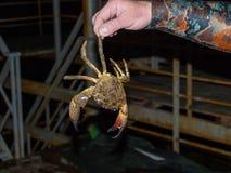 黑海石蟹 库存图片
