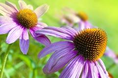 海胆亚目在有蝴蝶的庭院里在春天 库存图片