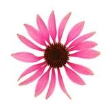 海胆亚目头状花序查出的purpurea白色 免版税库存照片