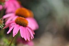 海胆亚目(紫色Coneflower) 免版税图库摄影