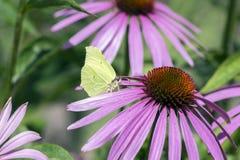 海胆亚目purpurea开花植物,在绽放,Gonepteryx rhamni蝴蝶的东部紫色coneflower 图库摄影