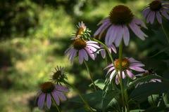海胆亚目purpurea紫色花特写镜头在绿叶庭院的背景的 库存照片