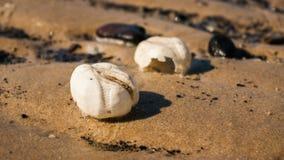海胆在对Northsea海滩的透视测试 免版税库存图片