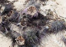 海胆干开放牺牲者纤巧长的针在海滩烘干了反对浅白色沙子背景  免版税库存照片
