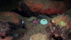 海胆的最基本的骨头水下在海洋生物海底  股票视频