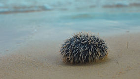 海胆` Erizo Huevo De印度`在海滩的Tripneustes ventricosus在Aguja海岛 免版税图库摄影