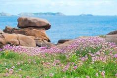 海节俭或海桃红色花卉生长海边在夏天 免版税库存照片