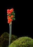 海芋属植物浆果 库存照片