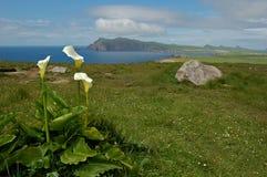 海芋属植物爱尔兰百合查阅 免版税库存图片