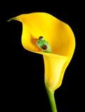 海芋属植物青蛙百合 库存照片