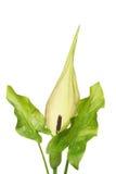 海芋属植物maculatum 免版税库存图片