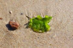 海草和一块石头在沙子 免版税库存照片