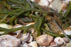 海草和壳在鳕鱼角 免版税库存图片