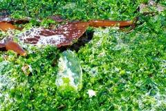 海草和海莴苣 免版税库存图片