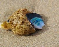 海草和蛤蜊壳 免版税库存照片