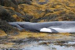 海草和死的鲸鱼 免版税图库摄影