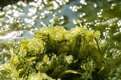 海葡萄& x28;绿色鱼子酱& x29;海草,健康食物 库存图片