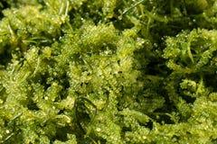 海葡萄& x28;绿色鱼子酱& x29;海草,健康食物 免版税库存照片