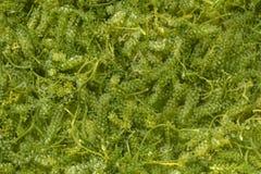 海葡萄& x28;绿色鱼子酱& x29;海草,健康食物 库存照片