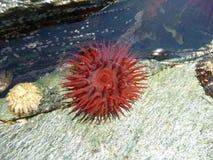 海葵和帽贝在浅岩石水池 库存图片
