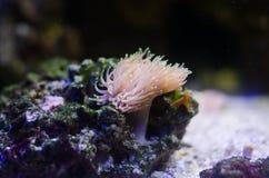 海葵属和珊瑚在美丽的水族馆 图库摄影