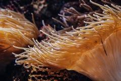 海葵,水族馆的水下的植物 库存照片