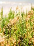 海蓬子属植物或沼泽samphire,生长在Fuseta, Ria福摩萨,葡萄牙的一个烹饪纤巧 免版税库存图片