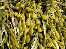 海藻棕色墨角藻属植物 免版税库存图片