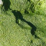 海藻绿色纹理 库存照片