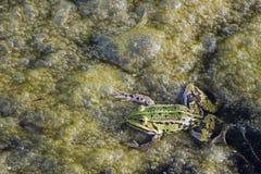 海藻青蛙绿色 免版税库存照片