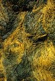 海藻 免版税库存照片