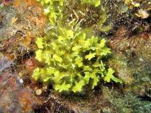 海藻dictyota 免版税图库摄影