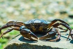 黑海螃蟹 免版税库存照片