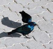海角光滑的椋鸟 免版税库存图片