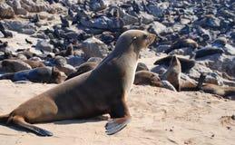 海角发怒封印储备 海岸纳米比亚概要 免版税库存照片