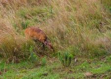 海角哺养在非洲灌木的条纹羚羊小牛 图库摄影