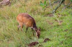 海角哺养在非洲灌木的条纹羚羊小牛 库存照片