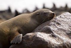 海角困的海狗 库存照片