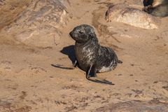 海角在海角十字架的海狗了不起的殖民地在纳米比亚 免版税库存图片