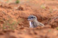 海角地松鼠或非洲地松鼠 库存图片